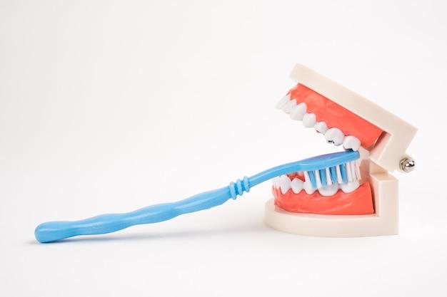 Maquette de dents dentaires et brosse à dents bleue sur fond blanc.