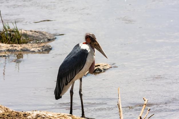 Marabu sur la rive du fleuve. masai mara, kenya
