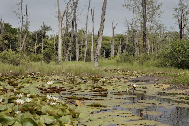 Marais d'eau douce, guyane française