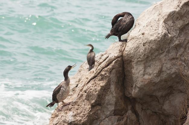 Marangoni - cormorans d'europe