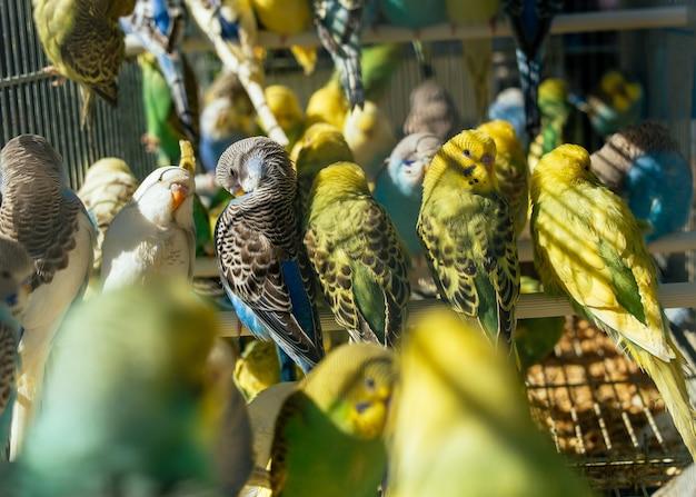 Marché aux oiseaux - bunch of budgies