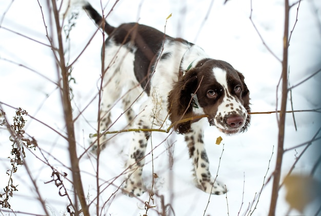 Marchez avec un chiot pour la première neige. mignon chiot épagneul springer anglais à mâcher sur les branches de brousse sur la nature de l'automne.