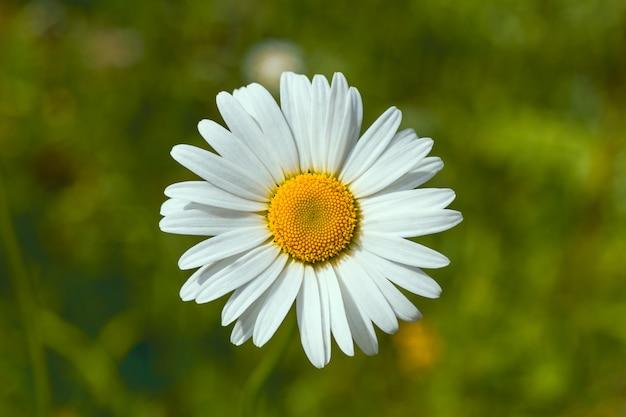 Marguerite blanche sur la surface de l'herbe verte