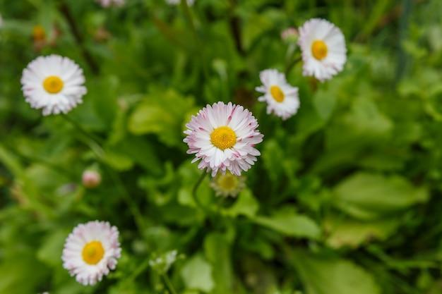 Marguerite commune ou bellis perennis sur une pelouse.