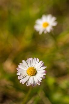 Marguerite commune, marguerite à gazon ou marguerite anglaise (bellis perennis) fleur détail