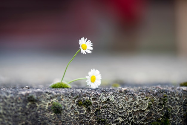 Marguerite dans le sol fissuré