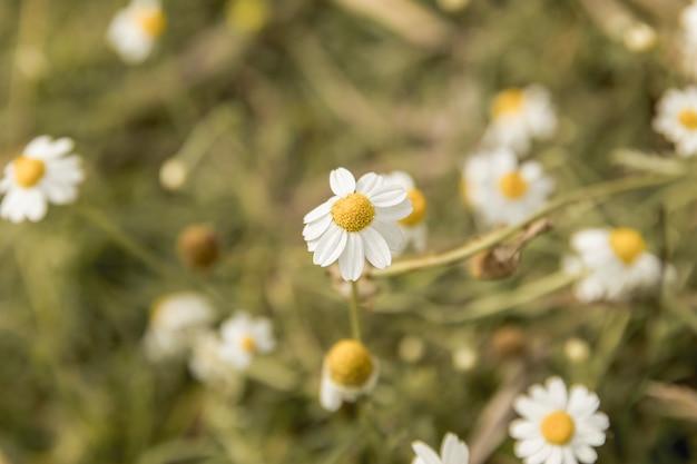 Marguerite fleurs près de la rivière