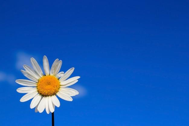 Marguerite seule fleur (camomille) isolé sur bleu