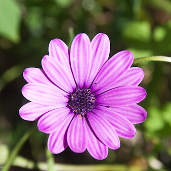 Marguerite violette avec bourgeon violet