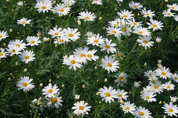 Marguerites blanches, fleur