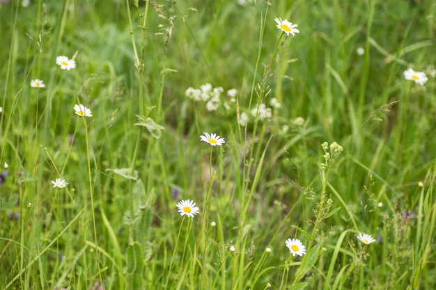 Marguerites blanches sauvages dans un champ en été.