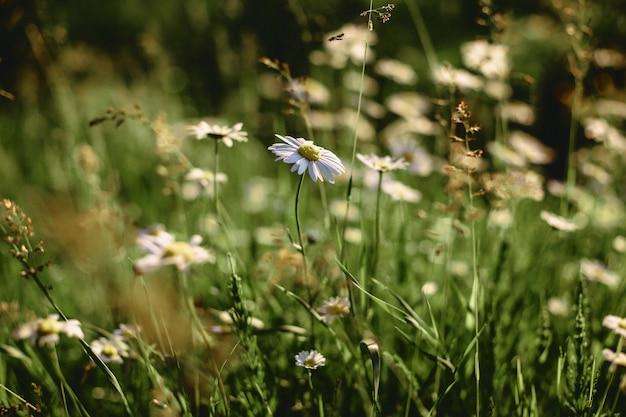 Marguerites de champs blancs sur des tiges lisses