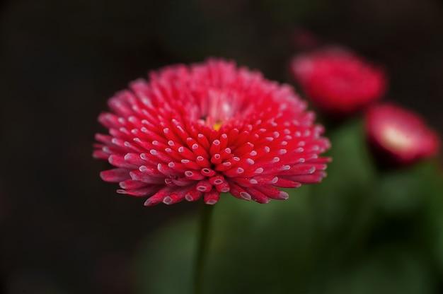 Marguerites dans l'obscurité et copie. marguerites florales mody