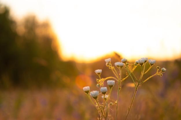 Marguerites d'été au lever du soleil, soleil du matin dans un paysage naturel.