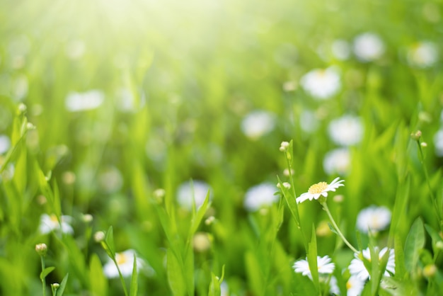 Marguerites fleurs champs de printemps avec la lumière du soleil flare nature fond frais
