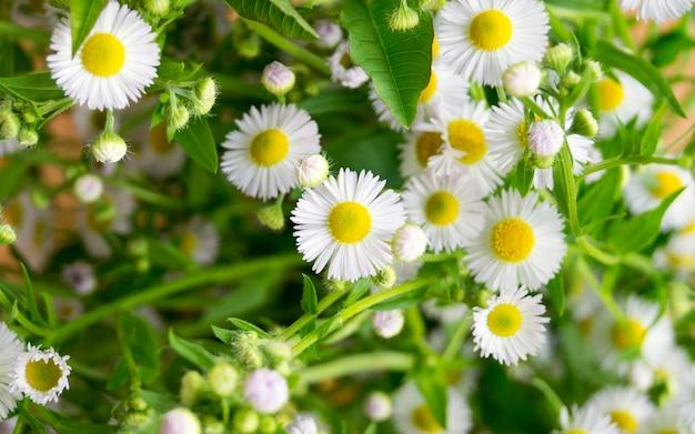 Marguerites. petites fleurs blanches