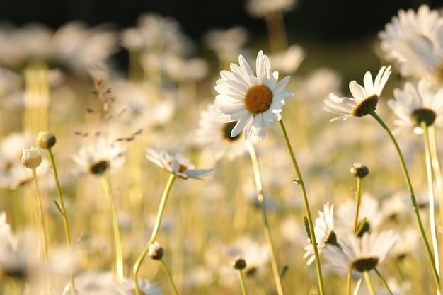 Marguerites sur une prairie au printemps au lever du soleil