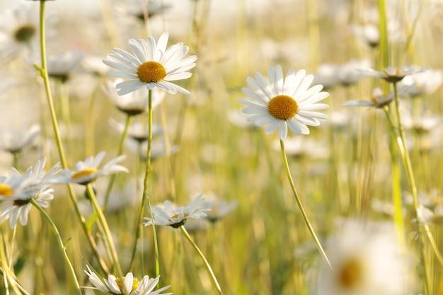 Marguerites sur une prairie de printemps à l'aube