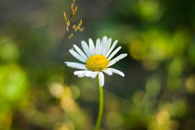 Marguerites sur le terrain, tête de fleur d'herbe et de fleur, bokeh et arrière-plan flou. contexte de la nature. couleurs vertes et jaunes dans la nature.