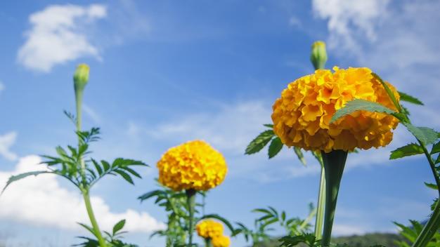 Marigold, couleurs vives, populaire avec les fleurs coupées et utilisé dans les activités bouddhistes