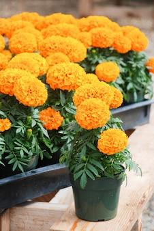 Marigolds couleur orange (tagetes erecta, souci mexicain, souci aztèque, souci africain), plante en pot de souci
