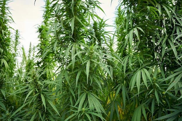 La marijuana laisse des plants de cannabis dans le fond de la ferme