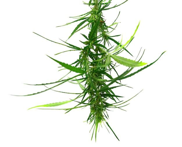 La marijuana médicale fraîche isolée sur blanc. cannabis thérapeutique et médicinal