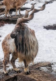 Markhor (capra falconeri) sur des rochers avec de la neige