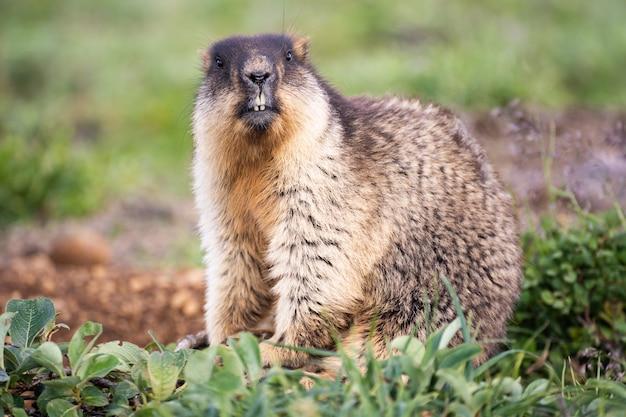 Marmotte dans l'habitat naturel. portrait de visage de détail avec habitat de montagne.