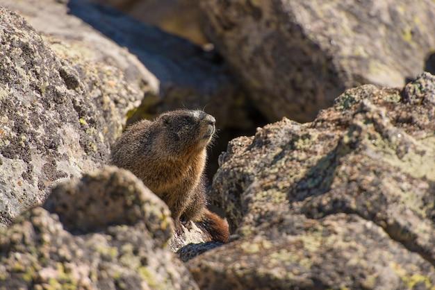 Marmotte sur le rocher