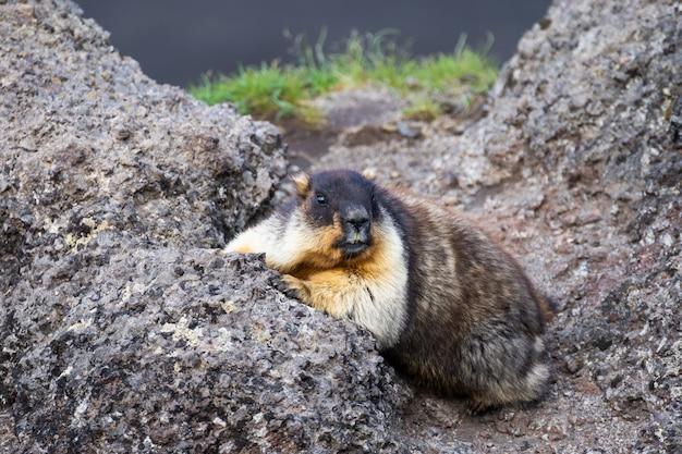 Marmotte sauvage dans son environnement naturel de montagnes
