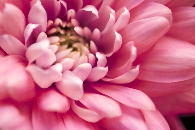 Marque de flore et concept d'amour pétales de fleurs de marguerite de corail en fleurs fleurs de fleurs florales abstraites au printemps nature pour parfum parfum mariage marque de beauté de luxe conception de vacances