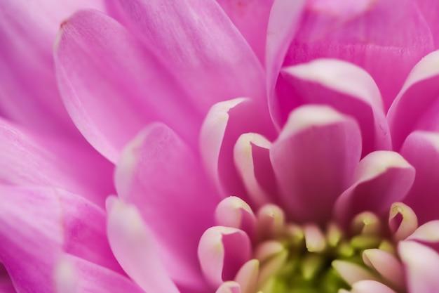 Marque de flore et concept d'amour pétales de fleurs de marguerite rose en fleurs abstrait art floral fleur backg ...