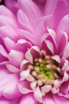 Marque de flore et concept d'amour pétales de fleurs de marguerite rose en fleurs abstrait fleur florale art arrière-plan fleurs au printemps nature pour parfum parfum mariage marque de beauté de luxe conception de vacances
