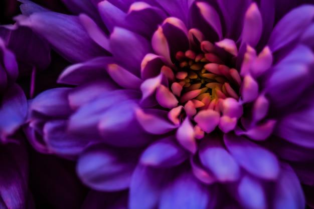 Marque de flore et concept d'amour pétales de fleurs de marguerite violette en fleurs fleurs de fleurs florales abstraites au printemps nature pour parfum parfum mariage marque de beauté de luxe conception de vacances