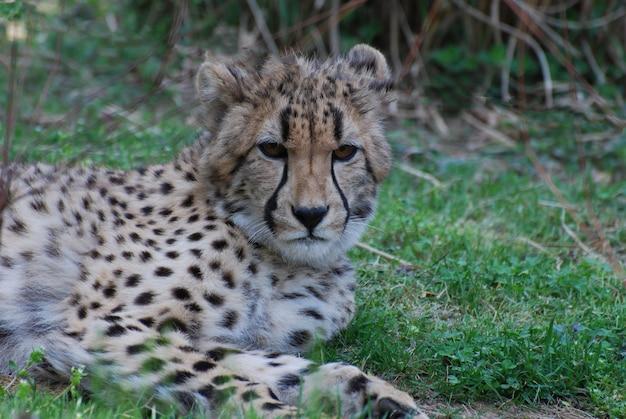 Marques sombres très impressionnantes sur le visage d'un guépard au soleil.