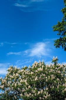 Marronnier à fleurs florales printanières sur ciel bleu, fond floral saisonnier