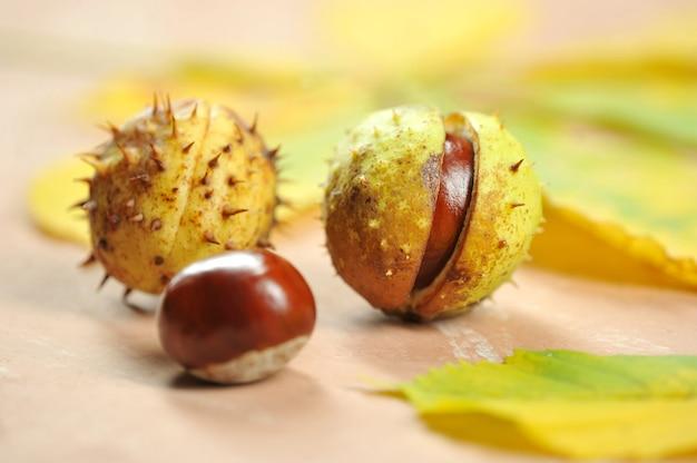 Marrons à la coquille cupule