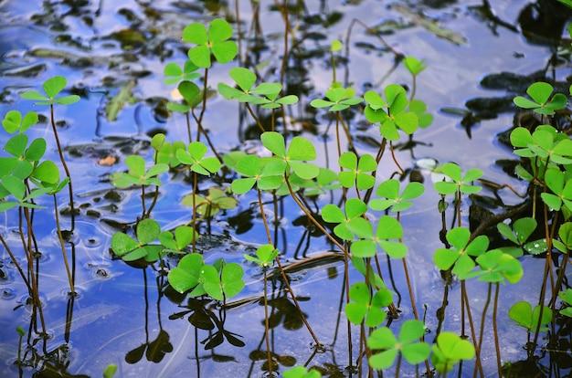 Marsilea crenata (trèfle d'eau, trèfle d'eau) ont des gouttelettes sur le fond de l'eau.