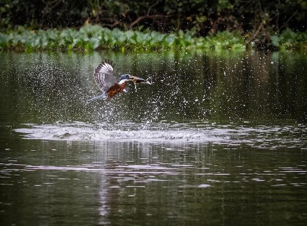Le martin-pêcheur attrape le poisson dans l'eau.
