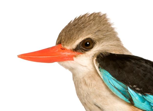 Martin-pêcheur des bois - halcyon senegalensis isolé.