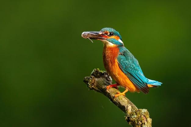 Martin-pêcheur commun coloré perché avec du poisson dans le bec éclairé par le soleil du matin