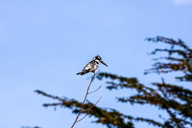 Martin-pêcheur noir et blanc en embuscade sur une branche. naivasha, kenya