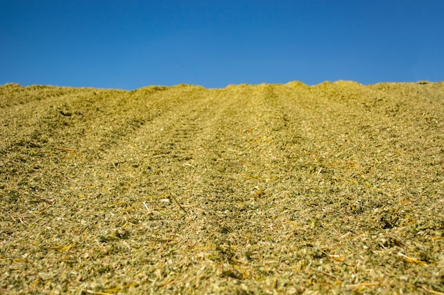 Masse verte d'ensilage de maïs lors du placement dans la fosse