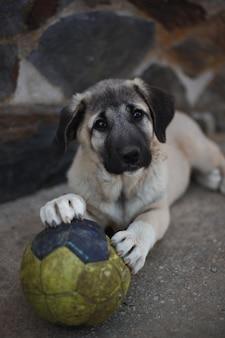 Mastiff espagnol petit chiot couché avec ballon de foot vert
