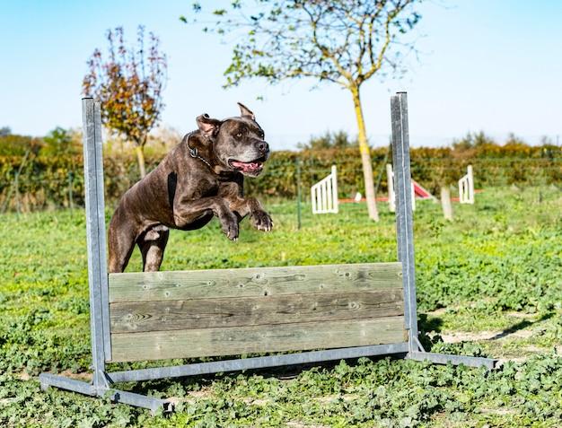 Mastiff italien sautant dans une formation pour l'obéissance