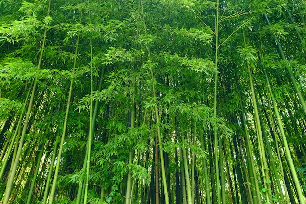 Matériau de feuilles de bambou vert. foret de bambou.
