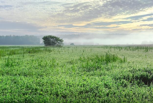 Matin dans le domaine en été brouillard sur un pré vert rosée du matin dans l'herbe