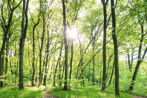 Matin dans la forêt ensoleillée avec des arbres verts