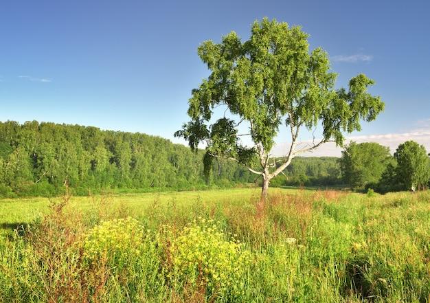 Matin d'été dans le domaine un bouleau sous un ciel bleu herbe épaisse et fleurs sauvages